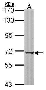 PABPC3 Antibody (PA5-22349) in Western Blot