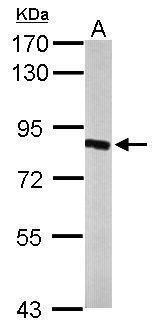 HSD17B4 Antibody (PA5-22367) in Western Blot