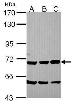 Chromogranin C Antibody (PA5-22371) in Western Blot