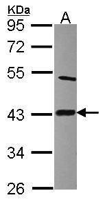 LIAS Antibody (PA5-22387)