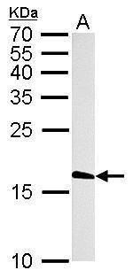 Histone H3.3 Antibody (PA5-22388) in Western Blot
