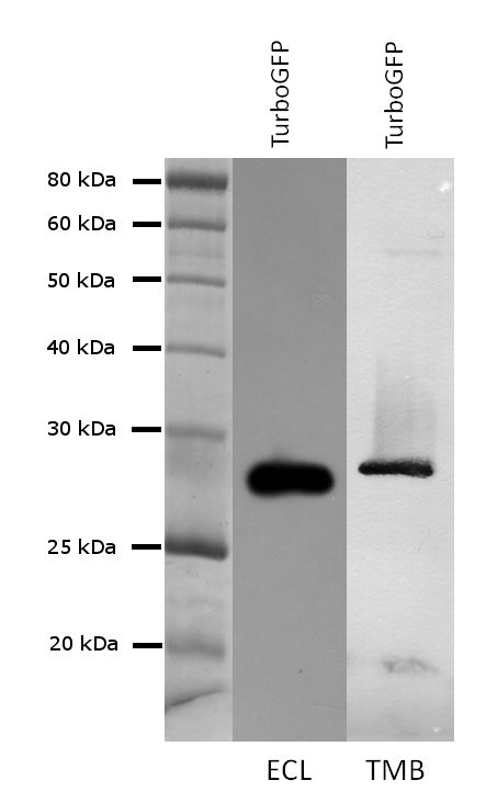 TurboGFP Antibody (PA5-22688) in Western Blot