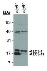 LC3B Antibody (PA5-22709) in Western Blot