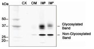 Aquaporin 2 Antibody (PA5-22865) in Western Blot