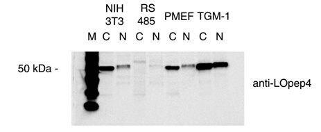 LOX Antibody (PA5-23001) in Western Blot