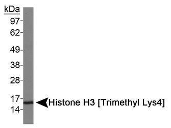 Tri-Methyl-Histone H3 (Lys4) Antibody (PA5-27029) in Western Blot