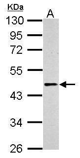 beta-2 Adrenergic Receptor Antibody (PA5-27083) in Western Blot