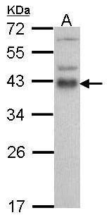 ATF1 Antibody (PA5-27092) in Western Blot