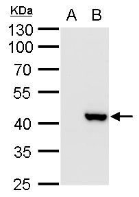 XRCC3 Antibody (PA5-27103)