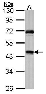 RAD51C Antibody (PA5-27106)