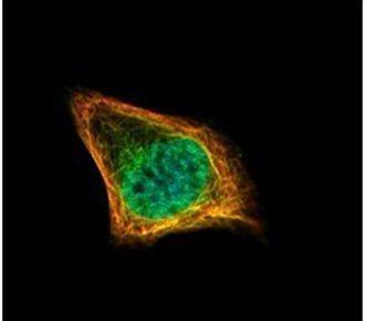 CENPF Antibody (PA5-27126) in Immunofluorescence