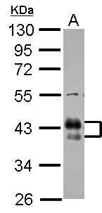 FCGR2B Antibody (PA5-27138) in Western Blot