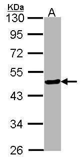 FOXA2 Antibody (PA5-27158)