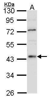 HNF4A Antibody (PA5-27159) in Western Blot