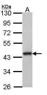 GPR20 Antibody (PA5-27176) in Western Blot