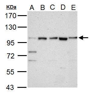 LGR5 Antibody (PA5-27178) in Western Blot