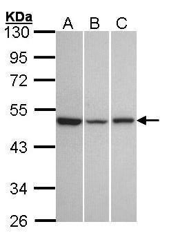 KISS1R Antibody (PA5-27180)