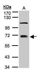 TRIM25 Antibody (PA5-27229) in Western Blot