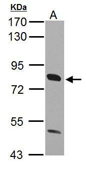 CD36 Antibody (PA5-27236) in Western Blot