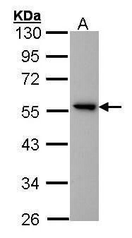 GPR83 Antibody (PA5-27259) in Western Blot