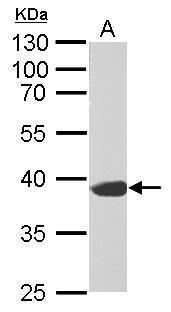 Synaptophysin Antibody (PA5-27286) in Western Blot