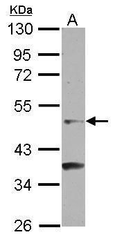 GCNF Antibody (PA5-27290) in Western Blot