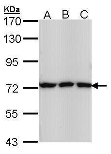 Transferrin Antibody (PA5-27306) in Western Blot