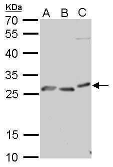 PrP Antibody (PA5-27313) in Western Blot