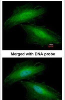 Annexin A1 Antibody (PA5-27315)