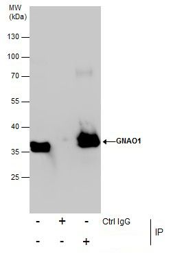 Annexin A1 Antibody (PA5-27315) in Immunoprecipitation