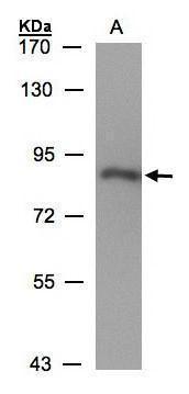 CYPOR Antibody (PA5-27326) in Western Blot