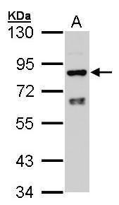 CYPOR Antibody (PA5-27327) in Western Blot
