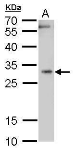 HMOX1 Antibody (PA5-27338) in Western Blot