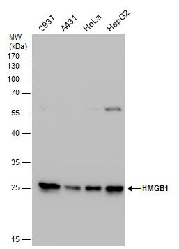 HMGB1 Antibody (PA5-27378) in Western Blot