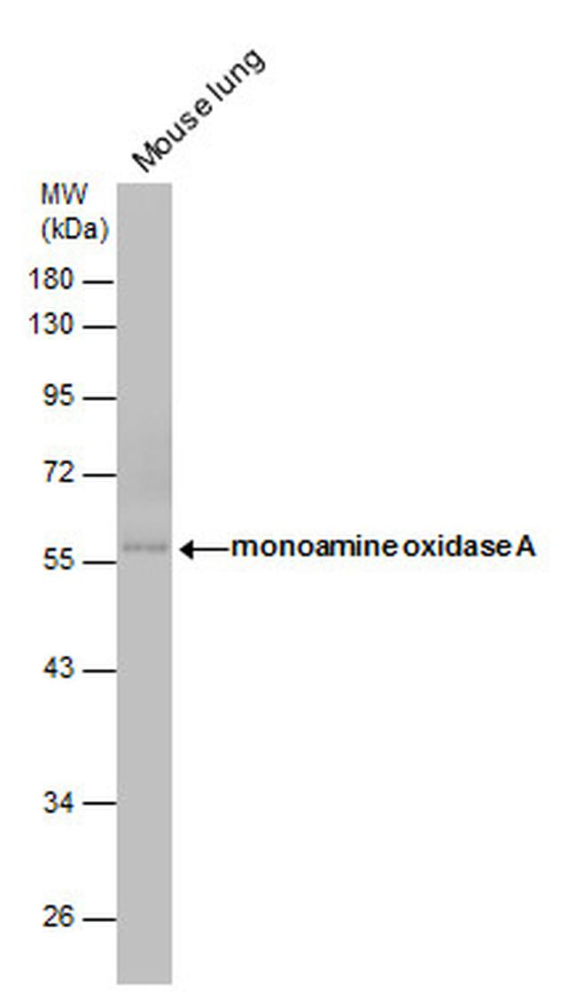 MAOA Antibody (PA5-27381) in Western Blot