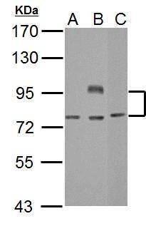 BCL6 Antibody (PA5-27390) in Western Blot