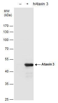 Ataxin 3 Antibody (PA5-27391) in Western Blot