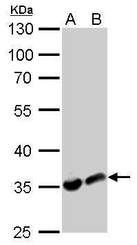LDHA Antibody (PA5-27406) in Western Blot