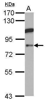 KAO Antibody (PA5-27409)