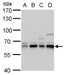CPNE1 Antibody (PA5-27417) in Western Blot