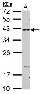 CD40 Antibody (PA5-27419) in Western Blot