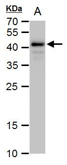 OCT4 Antibody (PA5-27438) in Western Blot