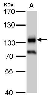 CD19 Antibody (PA5-27442) in Western Blot