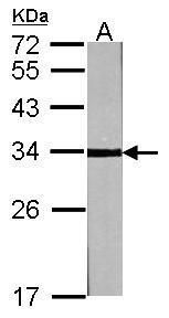 Cyclin D3 Antibody (PA5-27446) in Western Blot