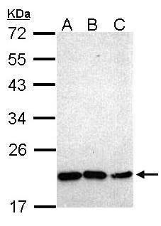 Nkx2.8 Antibody (PA5-27456)
