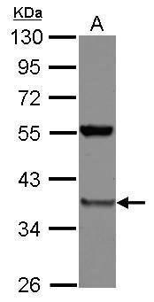 PSMD8 Antibody (PA5-27466)