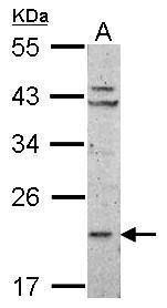 RPL11 Antibody (PA5-27468) in Western Blot