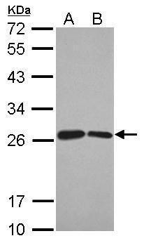 BUD31 Antibody (PA5-27469) in Western Blot