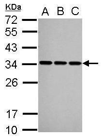SNRPA Antibody (PA5-27474) in Western Blot