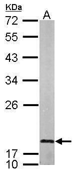 LMO1 Antibody (PA5-27493)